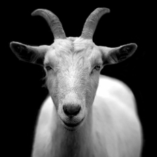 animal black and white royalty free goat